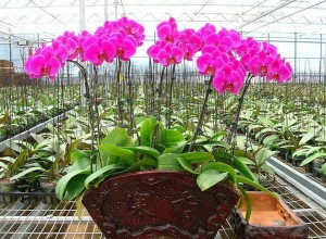 Growing hydroponic orchids